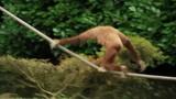 Lar gibbon monkey sitting, walking over rope and swinging in zoo - 233479122