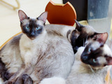 Portrait of Siamese cat sitting in its nest with other two cats lying together. looking at camera, Siamese cat with blue eyes and long whiskers at home. Portrait with an alert face. - 233486124
