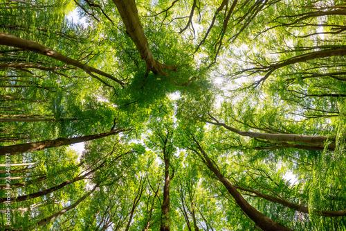 Zieleni treetops w lesie jako tło