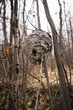 An old  nest of paper wasps  members of the vespid subfamily Polistinaein located in forest on the branches of trees