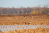 White-Fronted Goose over the Marsh - 233512554