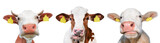 Three funny spotted cow isolated on a white background. Portrait of three cute cows. Farm animals