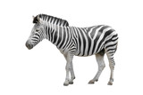 zebra isolated on white © prapann
