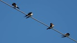 Four swallows over high power cable cleaning themselves - 233524548