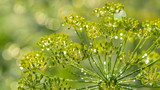 Dill flowers with water drops as a bright natural background - 233534158