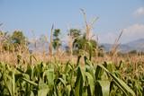Corn field in Indonesia. - 233572556