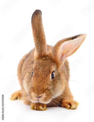 Brown królik na bielu.