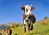 dairy abundance cows wearing a bell in alpine pasture  - 233580782