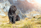 Bergamasco shepherd dog mixed in the meadows © michelangeloop