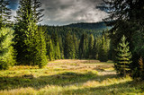 Virgin, dense pine forest, beautiful nature of Montenegro.
