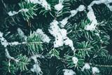 Christmas background. Green fir tree. - 233595168