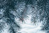 Christmas background. Green fir tree. - 233595987