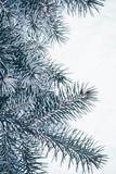 Christmas background. Green fir tree. - 233596128