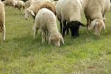 sheep 2795 - 233602732