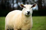 English sheep in field - 233604599
