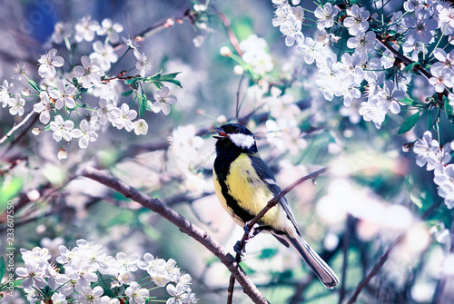 Foto Murales beautiful little bird tit sitting on a cherry branch in spring may garden surrounded by white flowers
