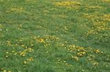 Dandelion at Spring - 233616518