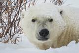 Polar bear on the tundra in Churchill, Canada - 233638117