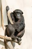 Chimpanzee sitting at the curtain.