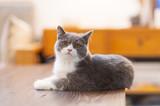 Cute British short-haired cat - 233678539