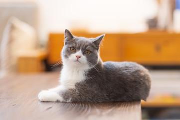 Cute British short-haired cat © chendongshan