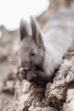 Close-up portrait of squirrel - 233678918
