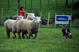 Border collie herding sheeps - 233688367