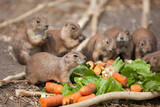 funny prairie dog eating carrots, wild life of the fauna of north america