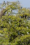 Bihoreau gris,.Nycticorax nycticorax, Black crowned Night Heron - 233705705
