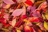 Planta de flores como enredadera en otoño - 233717181