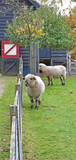 Sheep on grass during autumn season. the wool grown back for the coming winter - 233724755