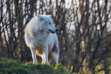 Arctic wolf (Canis lupus arctos), also known as the white wolf or polar wolf,