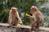 Male Macaques Shooting The Breeze over some tangerine segments in India
