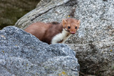 Stone marten, Martes foina, with clear green background. Detail portrait of forest animal. Small predator sitting on the beautiful green mossy tree trunk in the forest. - 233757742