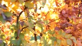 sunlight between autumnal leaves  - 233763996
