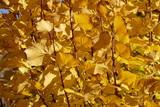 gelb verfärbte Buchenblätter an Ästen - 233774173