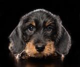 Coarse dachshund puppy dog on Isolated Black Background in studio © Anna Mandrikyan