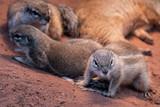 eine gruppe von borstenhörnchen im zoo - 233775769