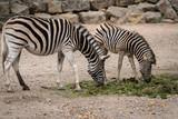 zwei zebras im zoo beim fressen © RM Photodesigns