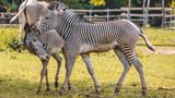 Young Zebras wrestling © Martin Erdniss