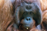 Orangutan © Angelika Bentin