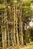 bambu © Reynaldo G. Lopes
