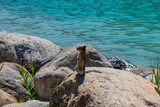 Squirrel standing over rocks with a lake as background  - 233791961