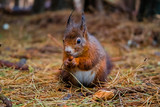 Red Squirrel in the pine forest - 233802541