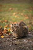 Adult domestic cat in autumn nature © DoraZett