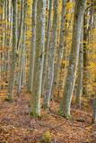 An autumn forest landscape. Close-up view of beech trees, green and golden leaves, Germany - 233811316