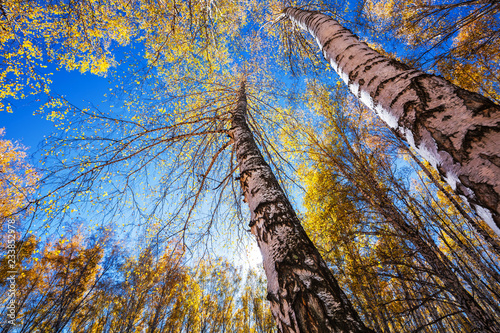 Autumn birch grove. Western Siberia