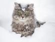 Leinwanddruck Bild - Kitty in snow