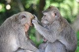 Monkeys grooming - 233905193