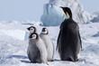 Leinwandbild Motiv Emperor Penguin Chicks at Snow Hill Emperor Penguin Colony, October 2018.